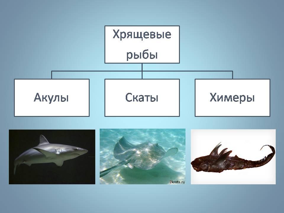 скачать презентация хрящевые рыбы