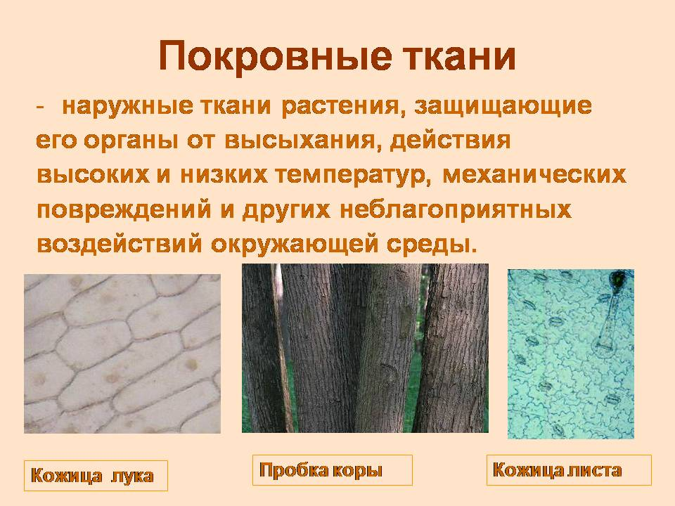 Презентацию ткани растений