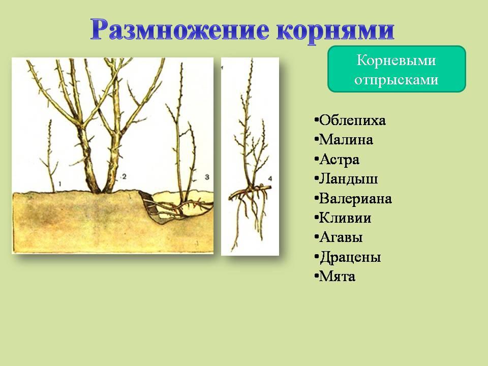 Вегетативное Размножение Презентация Скачать