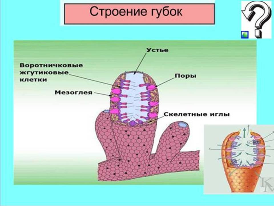 Презентацию по биологии по теме губы