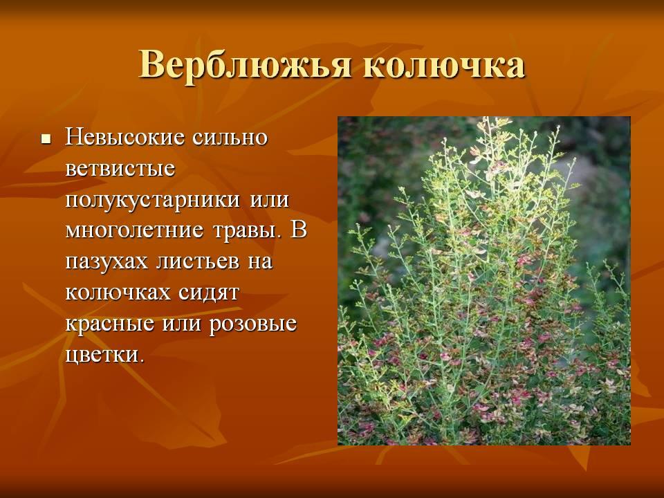 Растения пустыни фото с названиями - 3