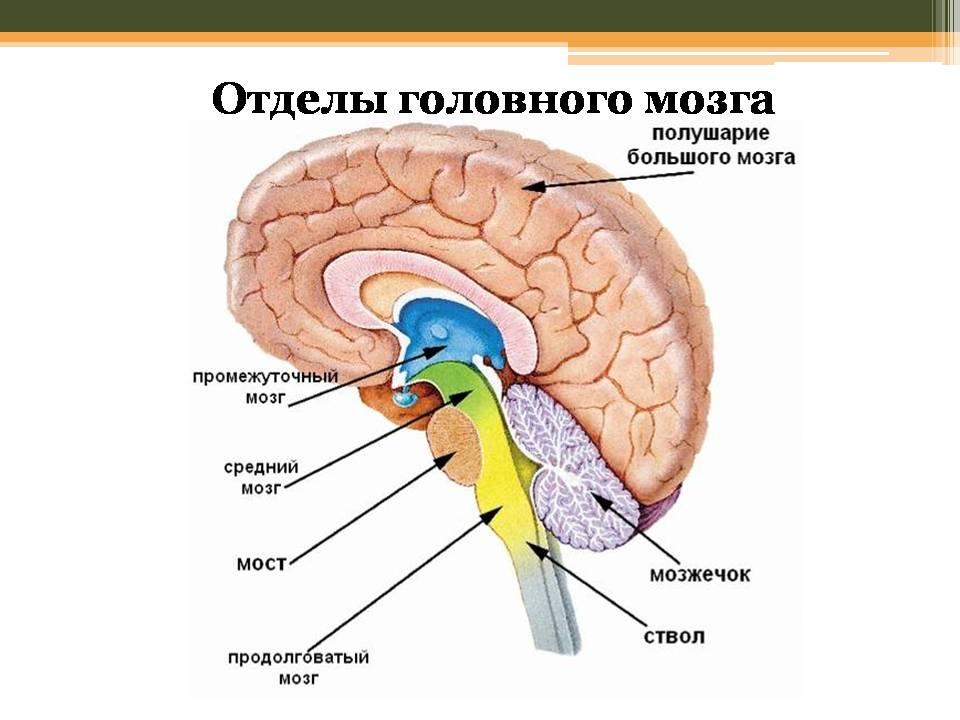 Строение и функции головного