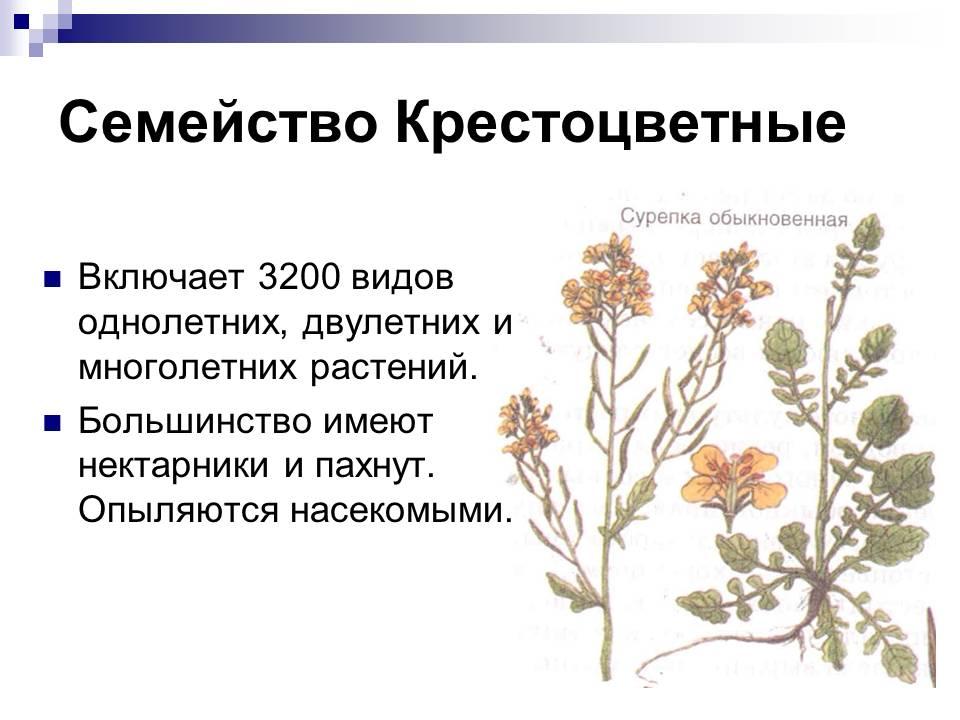Презентация на тему крестоцветные