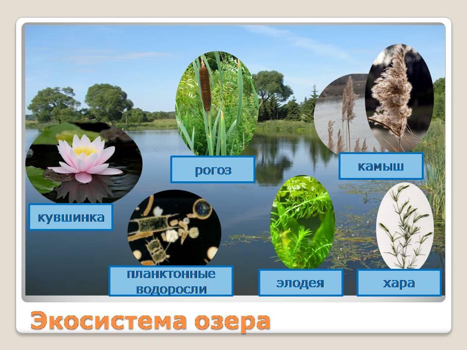 Что такое экосистема озера 3 класс реферат