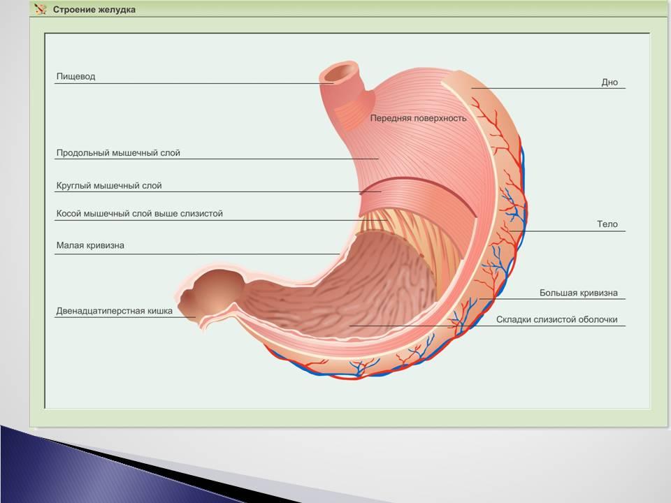Презентация пищеварение в кишечнике