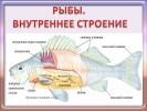 Рыбы. Внутреннее строение